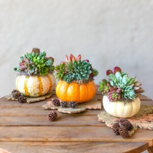 set of 3 succulent pumpins