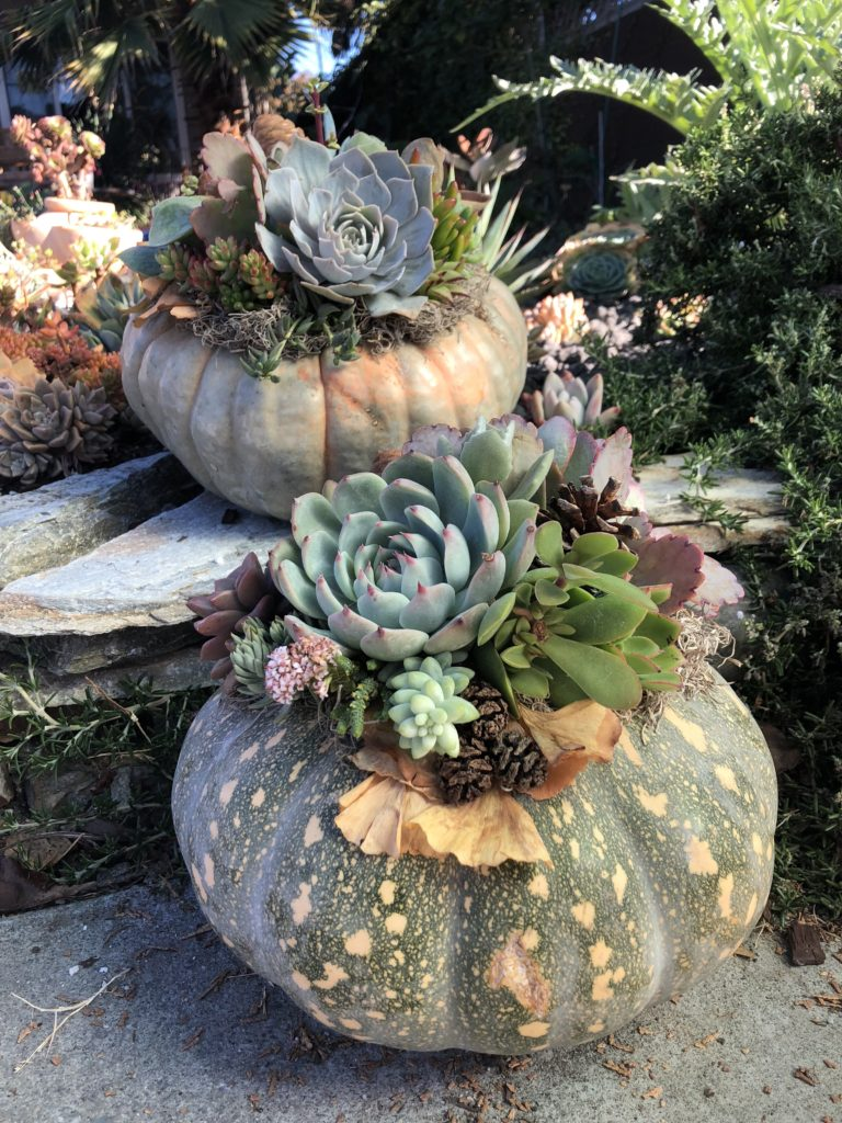 succulent-topped pumpkins for fall holiday decor, thanksgiving table decorations